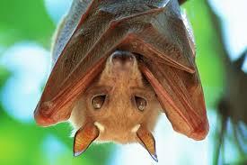 pipistrello causa ebola virus